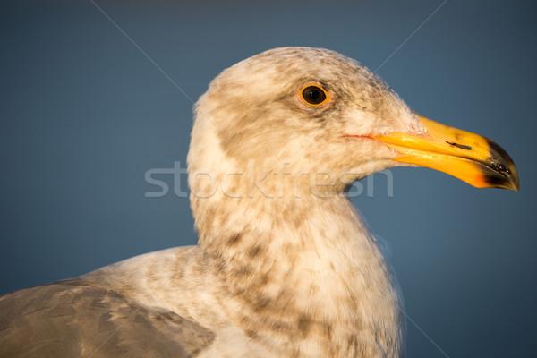 California Gull, Larus californicus Stock photo © yhelfman