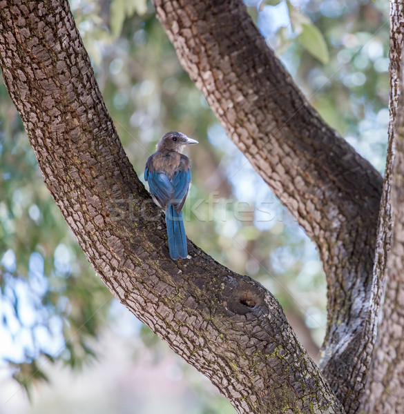 Western Scrub-Jay (Aphelocoma californica) perched on tree Stock photo © yhelfman