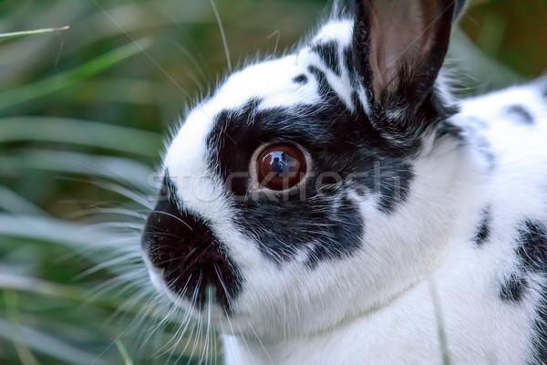 European Domestic Rabbit (Oryctolagus cuniculus domesticus) closeup. Stock photo © yhelfman