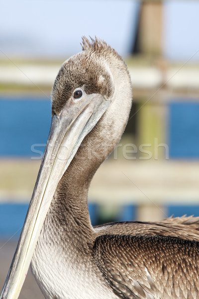 California Brown Pelican (Pelecanus occidentalis) hanging around in fishing pier. Stock photo © yhelfman
