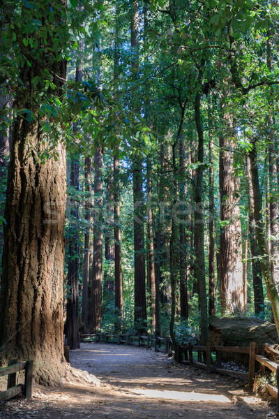 Redwood Path Stock photo © yhelfman
