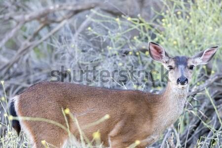 Young Black-tailed Deer (Odocoileus hemionus) Eating. Stock photo © yhelfman