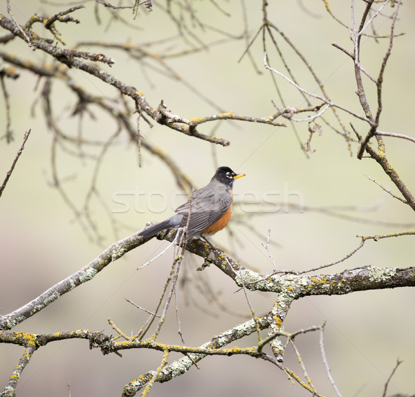 American Robin, Turdus migratorius, perched on a tree Stock photo © yhelfman
