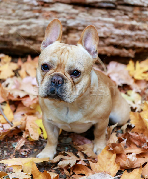 French Bulldog with Autumn Leaves. Stock photo © yhelfman
