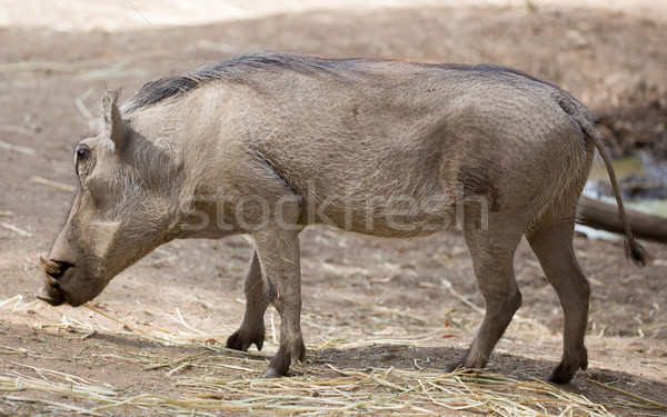 Common Warthog (Phacochoerus africanus) Stock photo © yhelfman