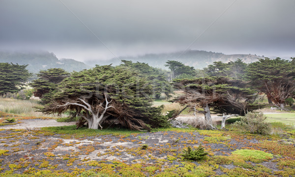 Cypress Trees In The Fog Stock photo © yhelfman