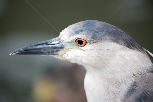Stock photo: Black-Crowned Night-Heron, Nycticorax nycticorax, close-up