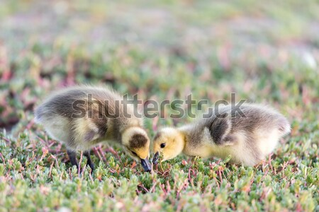 Canada Goslings (Branta Canadensis) Eating Grass Stock photo © yhelfman
