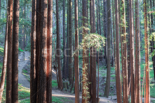 Sunset Lights on Redwood Trees. Stock photo © yhelfman