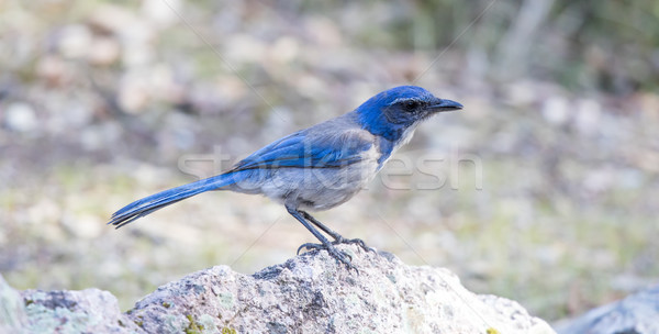 California Scrub-Jay (Aphelocoma californica) adult perched on a rock. Stock photo © yhelfman
