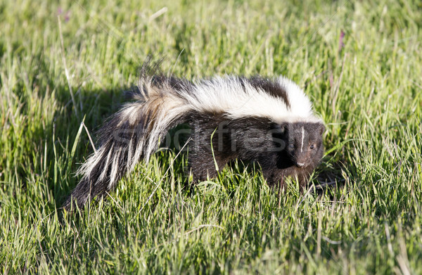 Striped Skunk (Mephitis mephitis) looking in alert. Stock photo © yhelfman