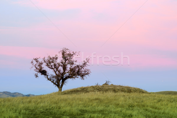 Lone Oak Tree Sunset Stock photo © yhelfman