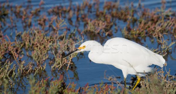 Snowy Egret foraging in low-tide bay water Stock photo © yhelfman