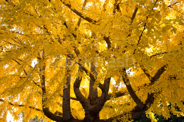 Ginkgo biloba tree, Fall Stock photo © yhelfman