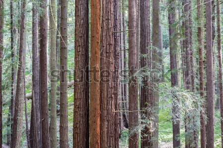 Redwood Grove Stock photo © yhelfman