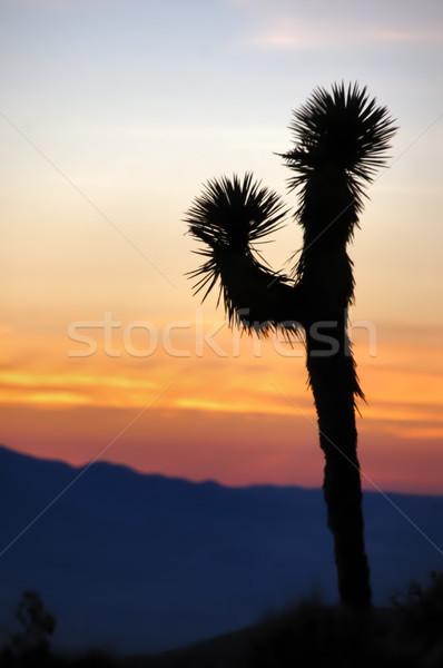 Joshua Tree Silhouette. Stock photo © yhelfman