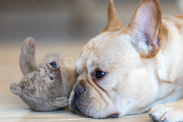 Young French Bulldog male resting next to his toy. Stock photo © yhelfman