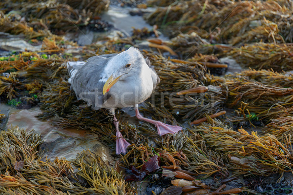 Injured Western Gull (Larus californicus) Perched on rocky coastline. Stock photo © yhelfman