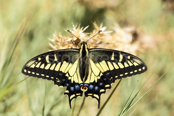 Anise Swallowtail (Papilio zelicaon) nectaring. Stock photo © yhelfman
