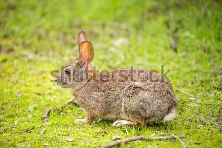 Cottontail Rabbit - Sylvilagus Stock photo © yhelfman