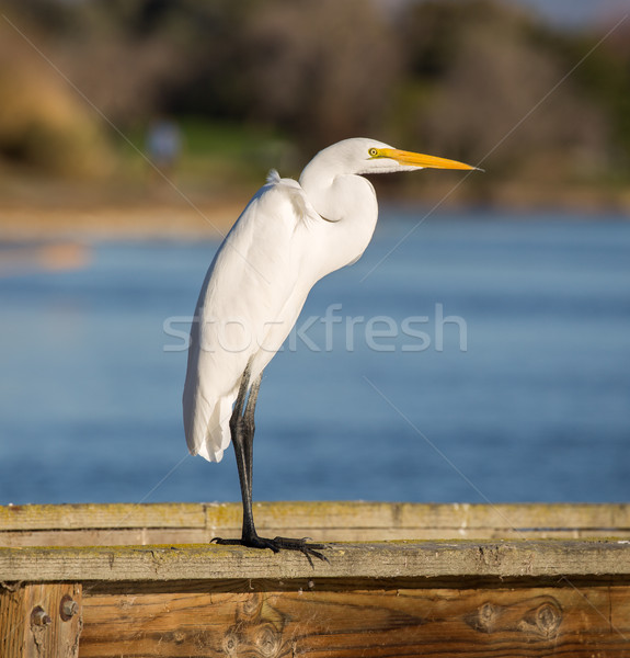 Great Egret, Common Egret, Large Egret, Great White Heron - Ardea alba Stock photo © yhelfman
