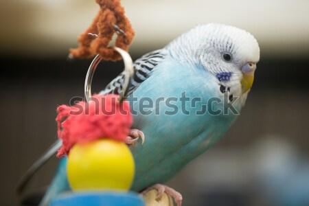 Domowych powłoki papużka falista mały ptaków biały Zdjęcia stock © yhelfman
