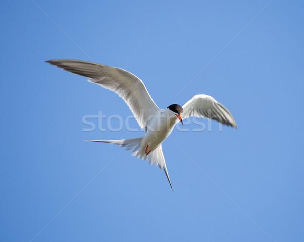 Forster's tern (Sterna forsteri) in flight Stock photo © yhelfman