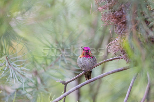 Kolibri felnőtt férfi mikulás Kalifornia USA Stock fotó © yhelfman