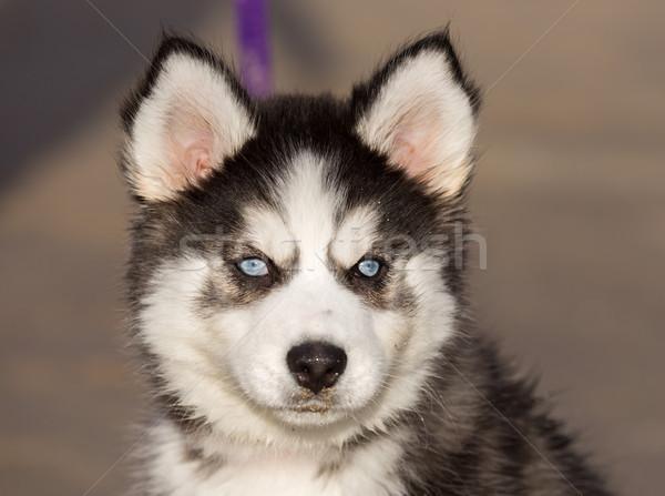 Rouco cachorro olhos azuis velho feminino bebê Foto stock © yhelfman