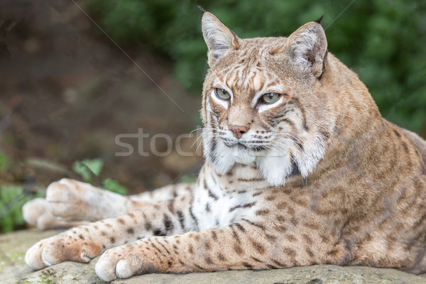 Bobcat (Lynx rufus californicus) resting on a rock and posing. Stock photo © yhelfman