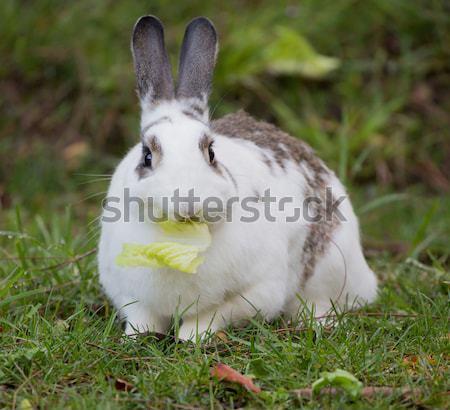 European Domestic Rabbit (Oryctolagus cuniculus domesticus) Stock photo © yhelfman