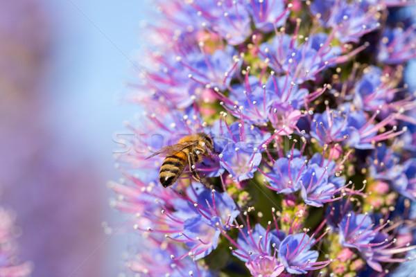 Méh büszkeség Madeira virág elfoglalt nektár Stock fotó © yhelfman