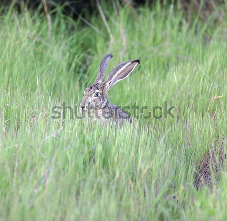 Black-tailed Jackrabbit - Lepus californicus Stock photo © yhelfman