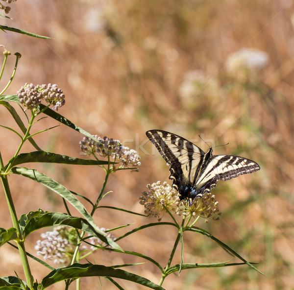Anijs af bloem nectar vlinder Stockfoto © yhelfman