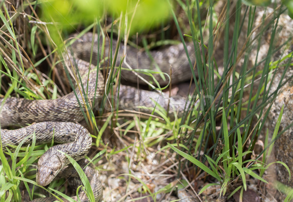 Pacific Gopher Snake (Pituophis catenifer catenifer) looking with cautious. Stock photo © yhelfman