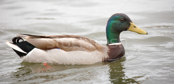 Mallard or wild duck - Anas platyrhynchos, adult male Stock photo © yhelfman
