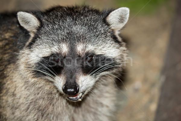 Raccoon (Procyon lotor) headshot. San Francisco, California, USA. Stock photo © yhelfman