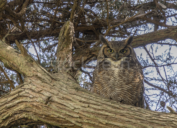 Coastal Great Horned Owl Adult Female Camouflaged Stock photo © yhelfman
