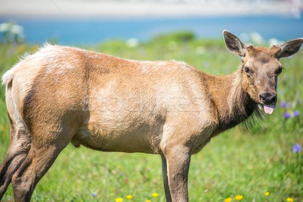 牛 ポイント カリフォルニア セントラル 谷 草で覆われた ストックフォト © yhelfman