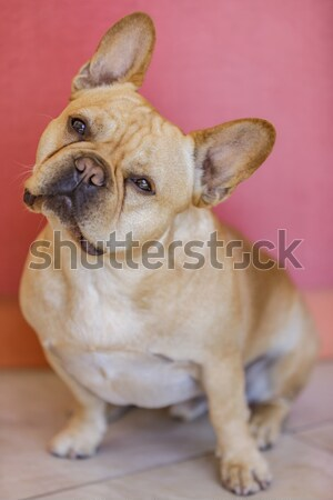 French Bulldog tilts his head to the side with care and engagement (according to science). Stock photo © yhelfman