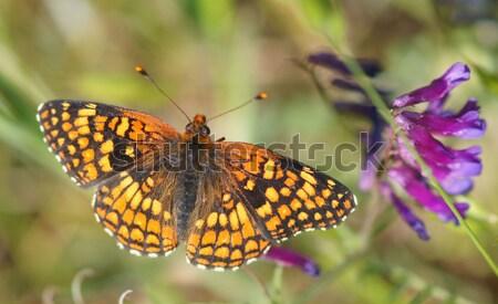 Farfalla nettare settentrionale California fiore Foto d'archivio © yhelfman