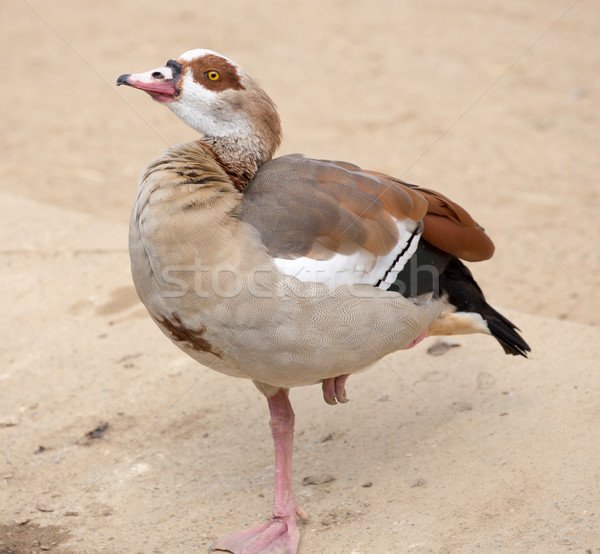 Egyptian Goose (Alopochen aegyptiaca) Stock photo © yhelfman
