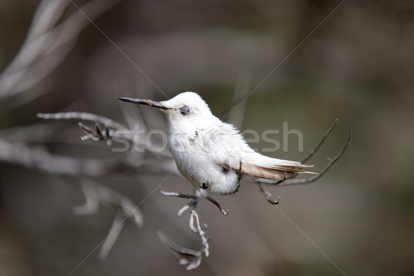 Rare Leucistic Anna's Hummingbird (Calypte anna) perched on a branch. Stock photo © yhelfman