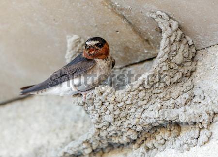納屋 鳥 鋼 泥 巣 シナモン ストックフォト © yhelfman