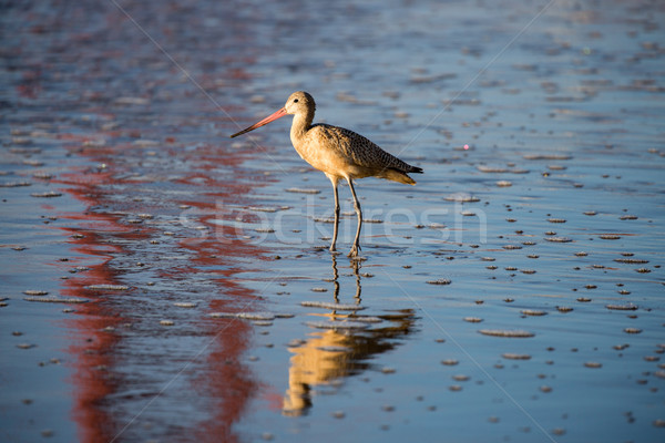 Long-billed Dowitcher (Limnodromus scolopaceus) reflected by famous Golden-Gate Bridge Stock photo © yhelfman
