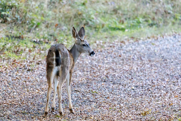 Black-tailed Deer in Alert Stock photo © yhelfman