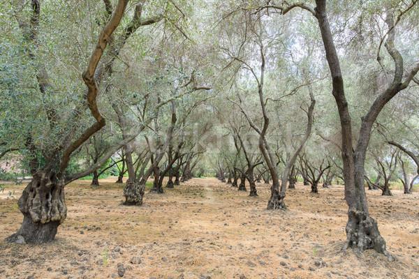 Olive Tree Tunnel Stock photo © yhelfman