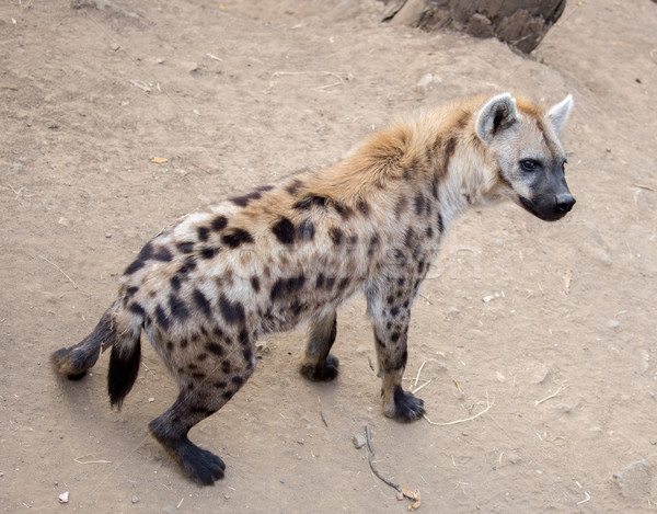 Spotted Hyena (Crocuta crocuta) Stock photo © yhelfman