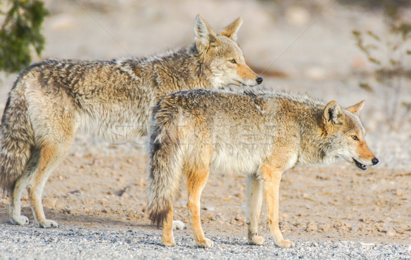 Stock photo: Coyotes - Canis latrans