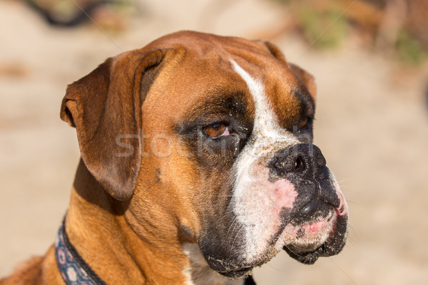 Fawn Brindle German Boxer Headshot Stock photo © yhelfman